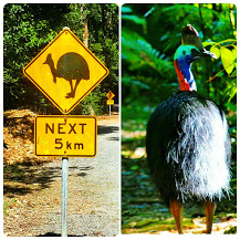 You'll see plenty of Cassowaries on the drive!